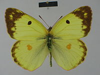 Colias alfacariensis alfacariensis male Paralectotype 01 dorsal side ZSM.jpg