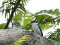 Collared Kingfisher (Todirhamphus chloris) (7187402848).jpg
