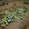 Collectie Nationaal Museum van Wereldculturen TM-20029722 Groentebed met spinazie op Plantage Aruba Bonaire Boy Lawson (Fotograaf).jpg