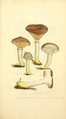 Coloured Figures of English Fungi or Mushrooms - t. 7.png