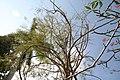 Colvillea racemosa 16zz.jpg