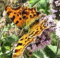 Comma Butterfly - geograph.org.uk - 1521045.jpg