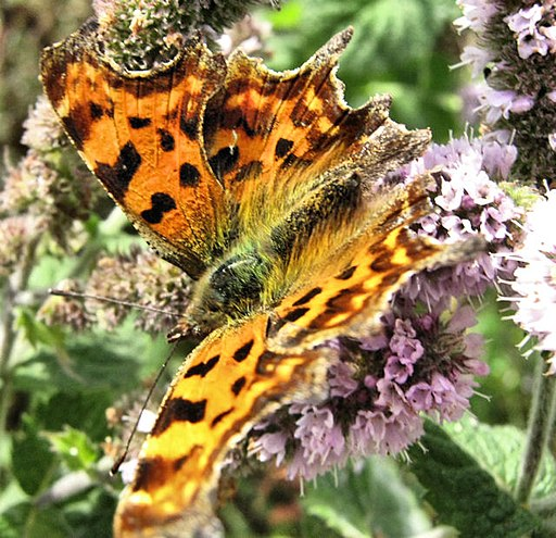 Comma Butterfly - geograph.org.uk - 1521045