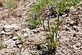 Commelina dianthifolia - Flickr - aspidoscelis (3).jpg