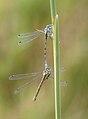 Common Blue Damselflies.JPG