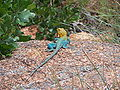 Common Collared Lizard at Wichita Mountains National Wildlife Refuge in Oklahoma.JPG