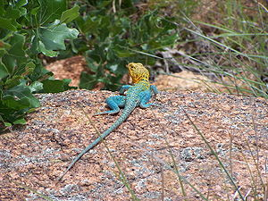 Common collared lizard - Male collared lizard, with blue-green body and yellow-brown head, at the Wichita Mountains Wildlife Refuge near Lawton, Oklahoma