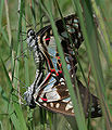 Common Jay (Graphium doson) mating in Hyderabad, AP W IMG 9776.jpg