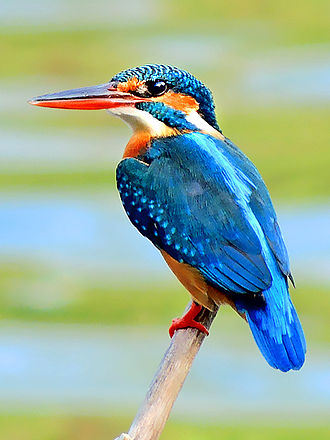 Common kingfisher - ♀ from Mangaon, Maharashtra, India