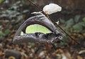 Common Nawab Polyura athamas UN by Dr. Raju Kasambe DSCN0315 (6).jpg