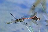 Common darters (Sympetrum striolatum) tandem in flight .jpg