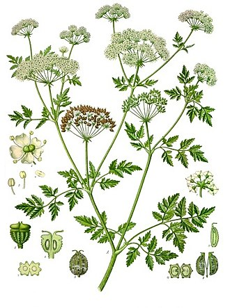Conium - 19th-century illustration of Conium maculatum (from Köhler's Medicinal Plants)