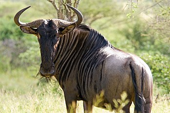 Wildebeest in Kruger National Park, South Afri...
