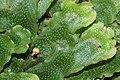 Conocephalum conicum (e, 144739-474742) 1022.jpg