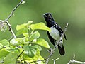 Conothraupis speculigera - Black-and-white Tanager - male (cropped).jpg