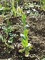 Conringia orientalis sl24.jpg