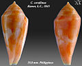 Conus corallinus 3.jpg