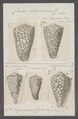 Conus marmoreus - - Print - Iconographia Zoologica - Special Collections University of Amsterdam - UBAINV0274 086 01 0008.tif