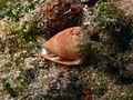 Conus sp..jpg
