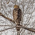 Cooper's Hawk, Colorado I (187714645).jpg