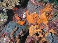 Coral Encrusting Sponge.jpg