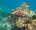 Coral community at Norman Reef.jpg