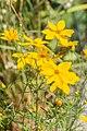 Coreopsis verticillata in Jardin des 5 sens (4).jpg