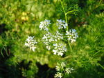 Coriandrum sativum Blossoms2.jpg