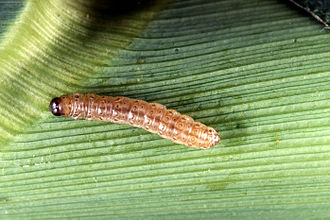 Genetically modified maize - The European corn borer, Ostrinia nubilalis, destroys corn crops by burrowing into the stem, causing the plant to fall over.
