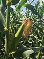 Corn in Yanbian 20150811.jpg