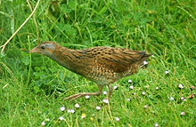Dumpy brown bird with grey face and red legs walking left through grass
