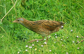 Corn Crake (Crex crex) September 24, 2009.