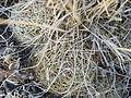 Coryphantha ottonis (5740351335).jpg