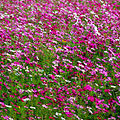 Cosmos flowers in Thailand 08.jpg