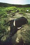 Крава угушена гасом из језера Њос.