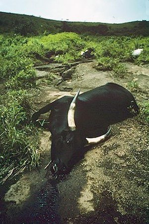 Lake Nyos - Cattle suffocated by carbon dioxide from Lake Nyos