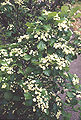 Crataegussucculenta.jpg