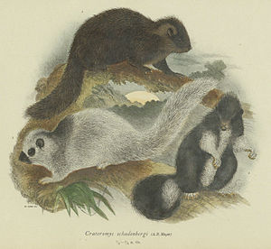 Crateromys - Giant bushy-tailed cloud rat (Crateromys schadenbergi)