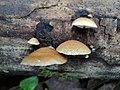 Crepidotus mollis 12928265.jpg