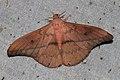Cricula elaezia (Saturniidae) (5716807623).jpg