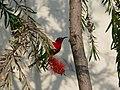 Crimson Sunbird - Aethopyga siparaja - P1030363.jpg