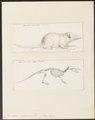 Crocidura murinus - 1700-1880 - Print - Iconographia Zoologica - Special Collections University of Amsterdam - UBA01 IZ20900083.tif