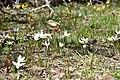Crocus alatavicus 02.jpg