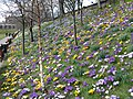 Crocuses in Princes Street Gardens - geograph.org.uk - 1750934.jpg