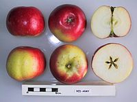 Cross section of Red Army, National Fruit Collection (acc. 1945-057).jpg