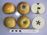 Cross section of Renetta Grigia di Torriana, National Fruit Collection (acc. 1958-030).jpg
