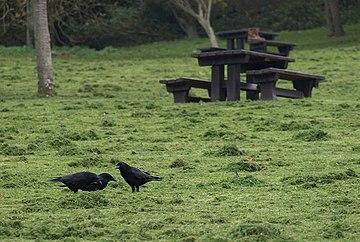 Drei schwarze Aaskrähen vor einem Picknicktisch
