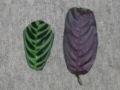Ctenanthe Leaves.JPG