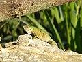 Ctenosaura similis (4009444855).jpg