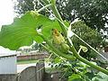 """Cucurbita maxima """"zapallo plomo"""" (Costanzi temp2) flor fruto F05 dia02 vista lateral pétalos cerrados.JPG"""